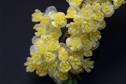 Flor da Litsea Cubeba