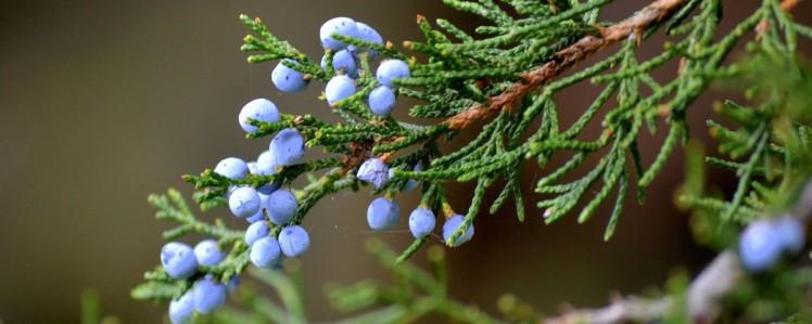 junipero-bysamia-aromaterapia
